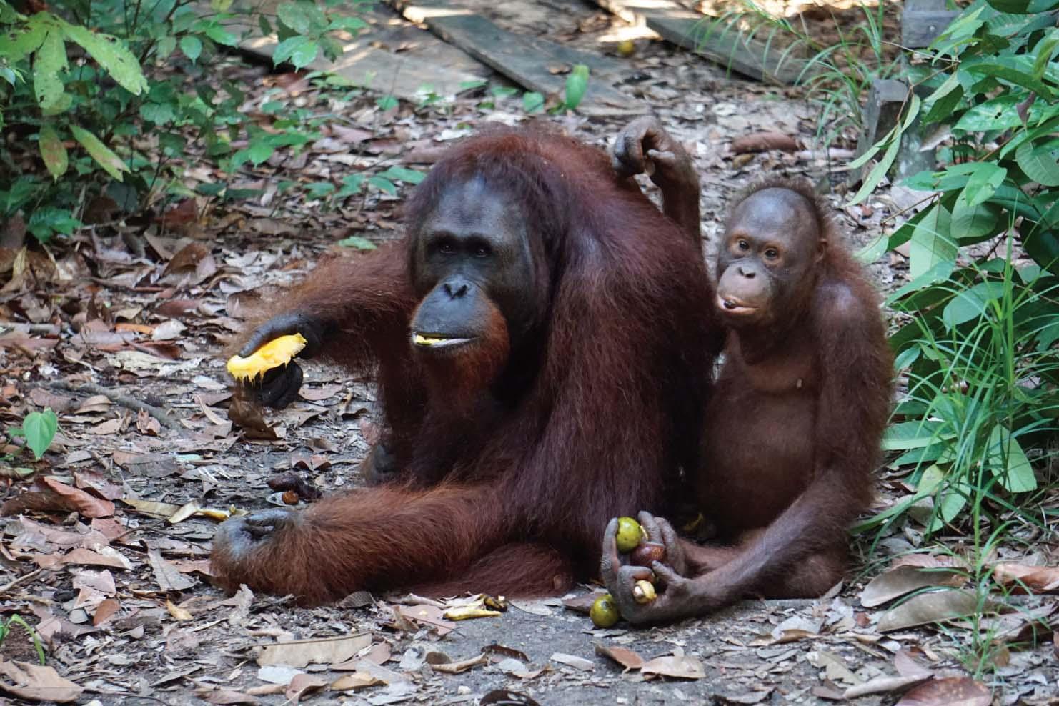 Mamat (een mannetje van 18) en Terra (een vrouwtje van 8). Mamat ontwikkelt hier al zijn wangplaten. | © SOC