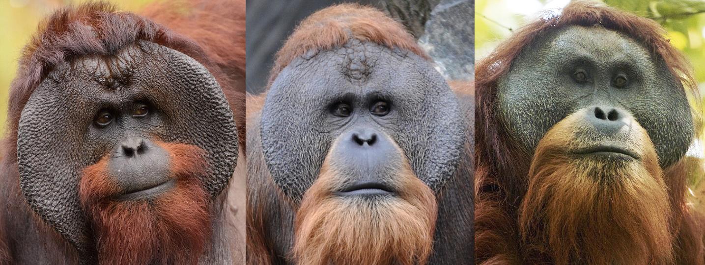 Orang-oetanmannen met wangplaten. Van links naar rechts: een Borneose, een Sumatraanse en een Tapanuli orang-oetan | © Eric Kilby, Aiwok & Tim Laman, CC BY-SA 3.0 <https://creativecommons.org/licenses/by-sa/3.0>, via Wikimedia Commons