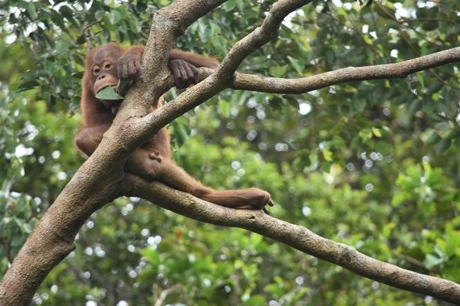 Een orang-oetan in het oefenbos | Foto: SOC