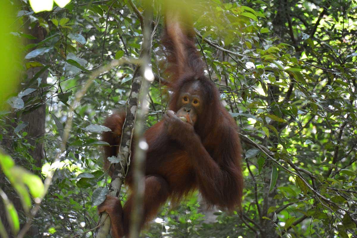 Een Borneose orang-oetan met een vijg   Foto: Hugo Wortel
