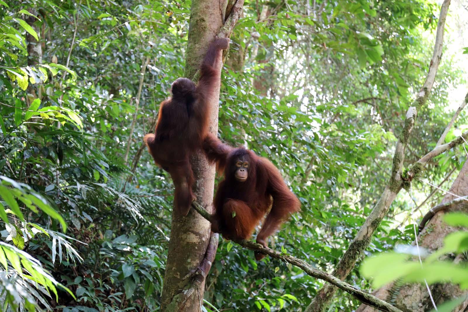 Op 7 april werden Ribang, Leon en Viko vrijgelaten in nationaal park Betung Kerihun | © SOC
